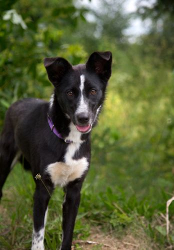 """ROSE"" border collie - needs someone to bond with"