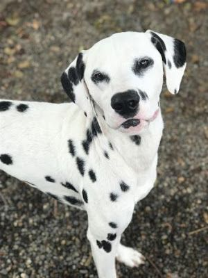 """DALTON"" Dalmation.""BORIS"" boxer mix.""BARTLEBY"" terrier mix.""CALVIN"" GShep mx.""HERMAN"" Pom mix.""MARCY"" Chi mix.""ELTON"" Pitbull"
