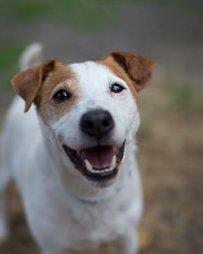"""WISHBONE"" fun Jack Russell Terrier"