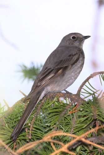 The Townsend's Solitaire