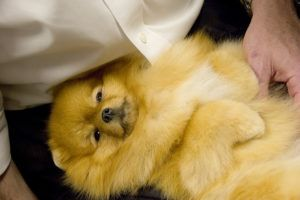 3 Things Your Pomeranian Loves More Than Anything