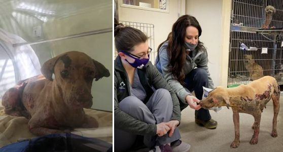 Severely Burned Dog Becomes First To Receive Revolutionary Treatment