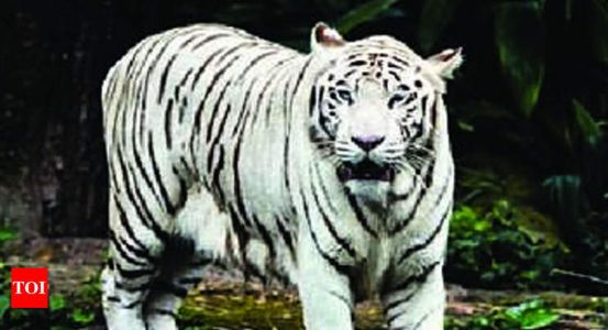 Snake kills tiger from Delhi zoo in Chhattisgarh | Raipur News - Times of India