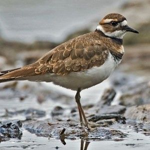 The Cool Killdeer
