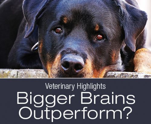 Veterinary Highlights: Higher Cognitive Capabilities in Dogs with Bigger Brains?