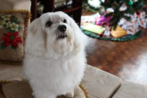 4 Things To Do When Your Maltese Is Stressed