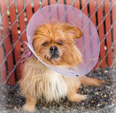 """GIZMO"" a terrier's ""cone of shame """