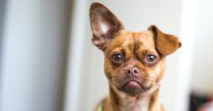 If Your Dog Is One of These 21 Breeds, It's Vital To Clean Their Ears Weekly