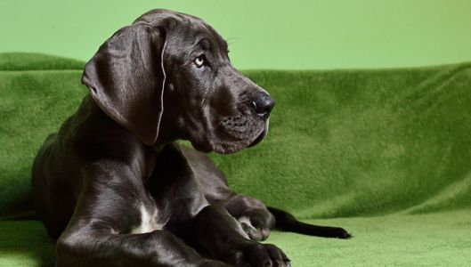 If You've Noticed Your Great Dane Is Slower to Get Up, Begin This Routine Immediately!