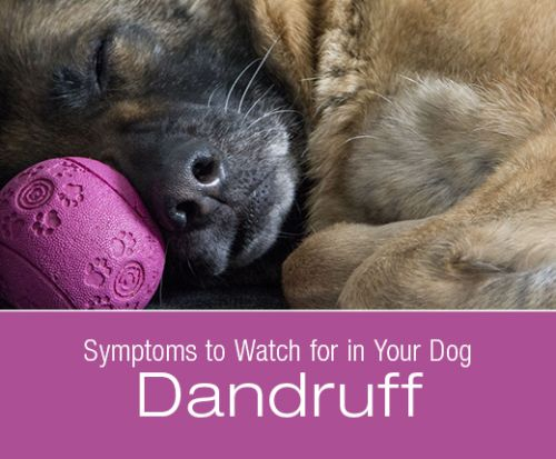 Symptoms to Watch for in Your Dog: Dandruff