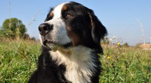 Improve Your Bernese Mountain Dog's Skin & Coat With This One Simple Hack