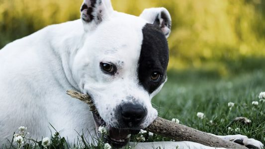 5 Defamed Dog Breeds