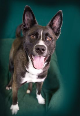 """""""ASTRA"""" little heeler mix (with Akita coloring and makes sounds like a Husky)"""