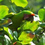 10 Cool Birds from the Caribbean Lowlands of Costa Rica