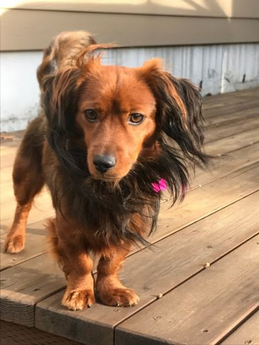 """JASPER"" adorable Long Haired Doxie mix"
