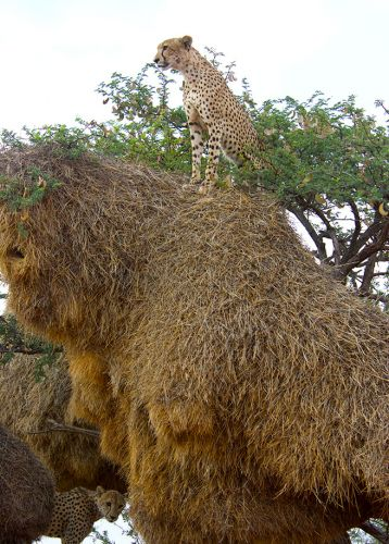 In Africa, Sociable Weavers Build a Nest of Many Uses
