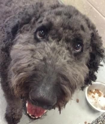 """""""TED"""" young active Labradoodle seeking activity and weight loss"""