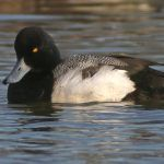 Scaup are the Worst Duck