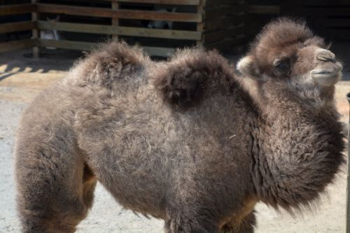 Bactrian Camel Born