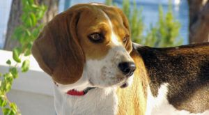 Improve Your Beagle's Skin & Coat With This One Simple Hack