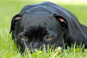 Fluid In The Lungs In Dogs