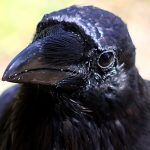 Quoth the Raven: Who you callin' bird-brained'