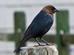 The Brown-headed Cowbird