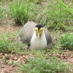 Masked Lapwings breeding at Derby airport