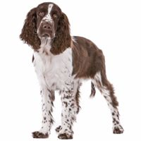 Breed: English Springer Spaniel