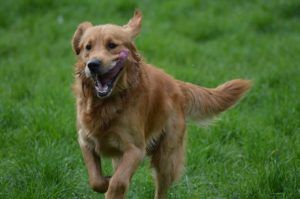 3 Tips To Getting Your Golden Retriever To Come When Called