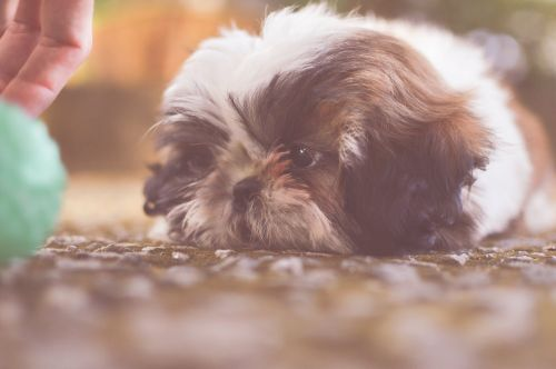 Breed Spotlight: The Shih Tzu | Winslow Animal Hospital Dog & Cat