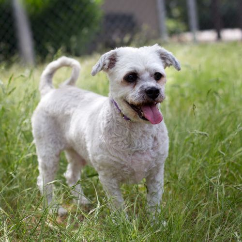 """PEPPER"" spunky senior Lhasa/poodle mix"