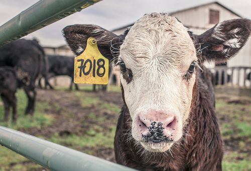 Federal Appeals Court Strikes Down Provisions of Idaho's Ag-Gag Law in Precedent-Setting Victory for Animals, Workers, Free Speech