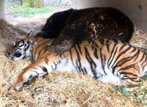 Shere Khan, the beloved tiger at Noah's Ark, dies