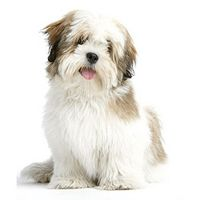 Breed: Lhasa Apso