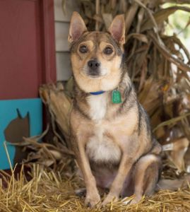 Rudy(NCR6976) is a smiley 2 year old Feist mix who loves to