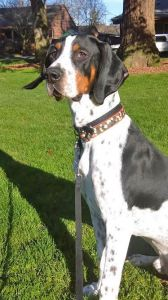 """MALCOLM"" I love other dogs- Treeing Walker Coonhound"