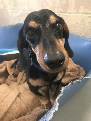 """NORMAN"" senior Doxie"