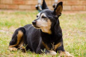 Giving This To Your Miniature Pinscher Daily Could Help Alleviate Painful Skin Allergies