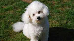 Improve Your Bichon Frise's Skin & Coat With This One Simple Hack