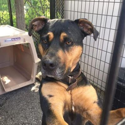Adoption Monday: Zena, Rottweiler Mix, Toronto, ON