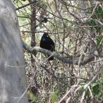 Satin Bowerbirds and their bowers