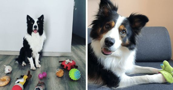 Six Border Collies Could Be The Smartest Dogs In The World