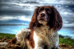 Giving This To Your English Springer Spaniel Daily Could Help Alleviate Painful Skin Allergies