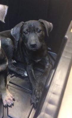 Adoption Monday: Boone, Labrador Retriever & Hound Mix, New York, NY