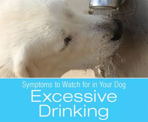 Symptoms to Watch for in Your Dog: Excessive Drinking - updated
