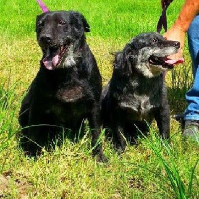 Adoption Monday: Beverly and Tamika, Flat-coated Retriever Mix, Huntington, NY
