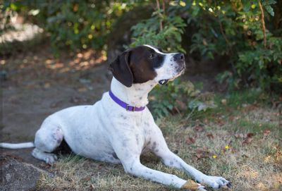 """""""CARL"""" smart and willing German Shorthair pointer mix"""