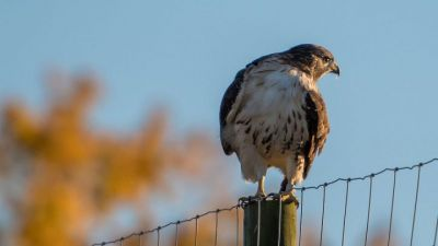 Sad News from the Bird Cams: Ezra, Beloved Red-tail at Cornell, Is Dead