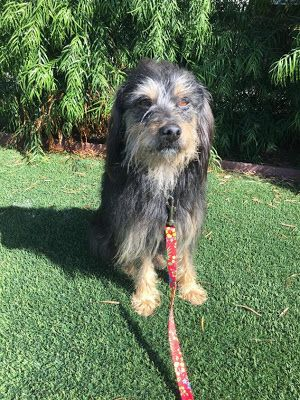 Adoption Monday: Brody, Terrier & Wheaten Terrier Mix, El Segundo, CA